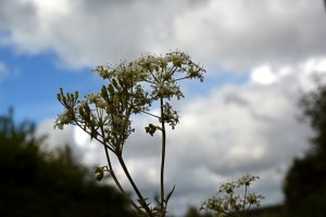 Cow parsley 20 05 15